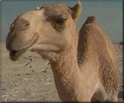 Texto Motivacional Filosofia Do Camelo