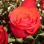 Texto motivacional – Parábola da rosa